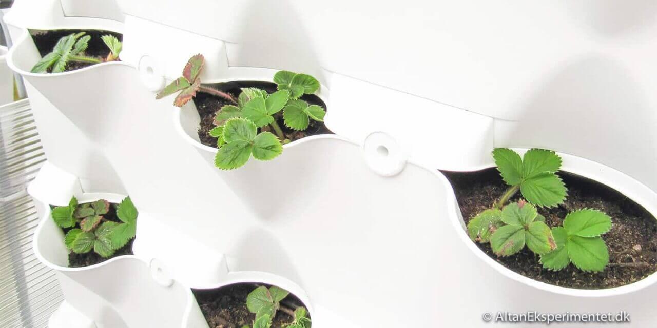 Jordbær Eksperimentet – Opfølgning…