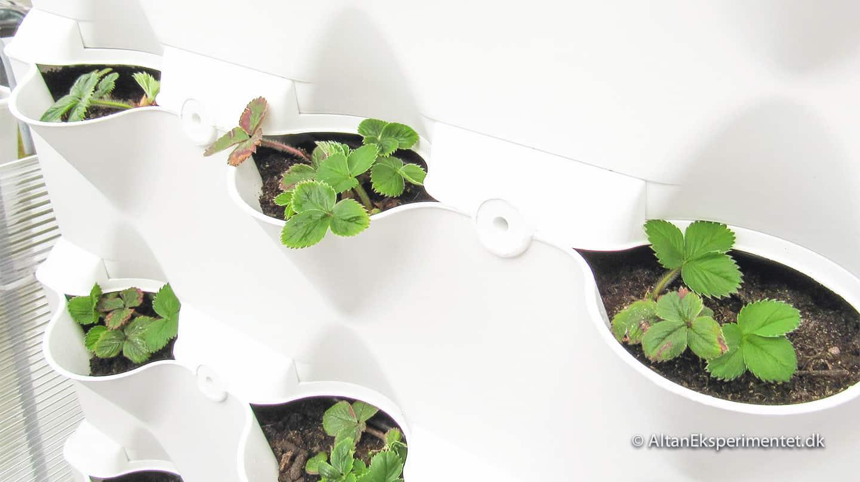 Jordbær - Planter lavet af egne jordbærfrø i plantevæggen