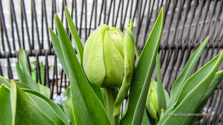 Aveyron dobbelt tulipan fra Claus Dalby i knop