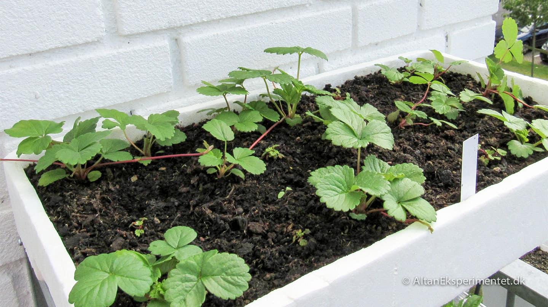 Jordbærplanter af egne jordbærfrø