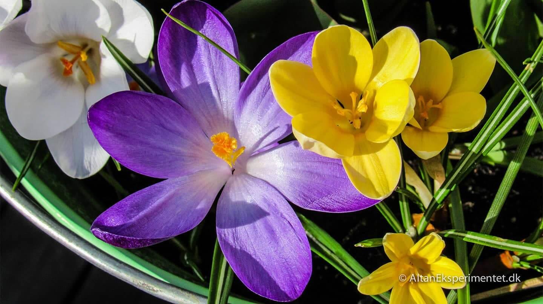 Krokus var nogle af de første forårsblomster på altanen i år