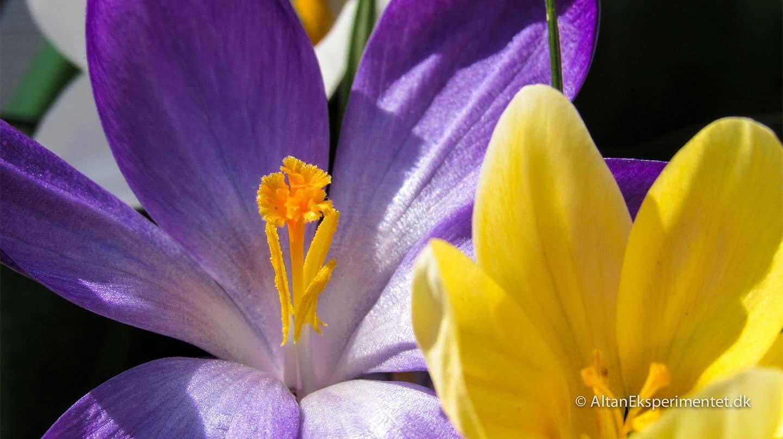 Lilla og gule krokus - Krokus var nogle af de første forårsblomster på altanen i år