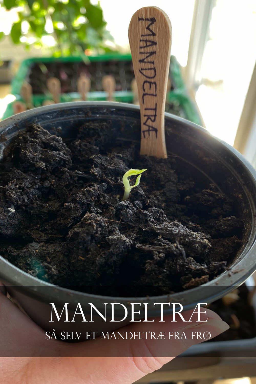 mandeltræ fra frø