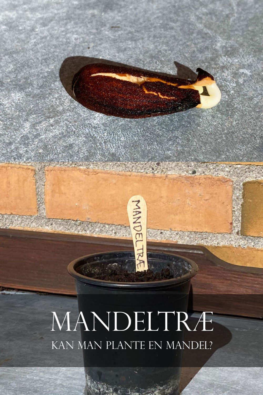 mandeltræ kan man plante en mandel?