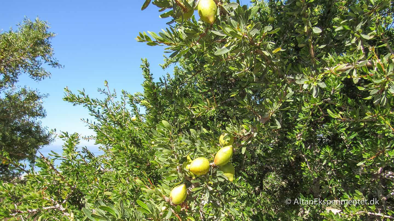 Marokkansk Argantræ