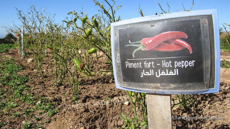 Chili - Piment Fort - Hot Pepper