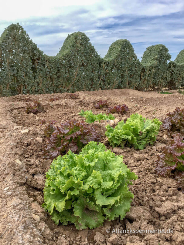 Salatbed