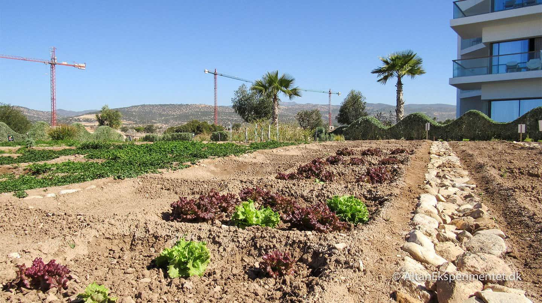 Køkkenhave Salatbed