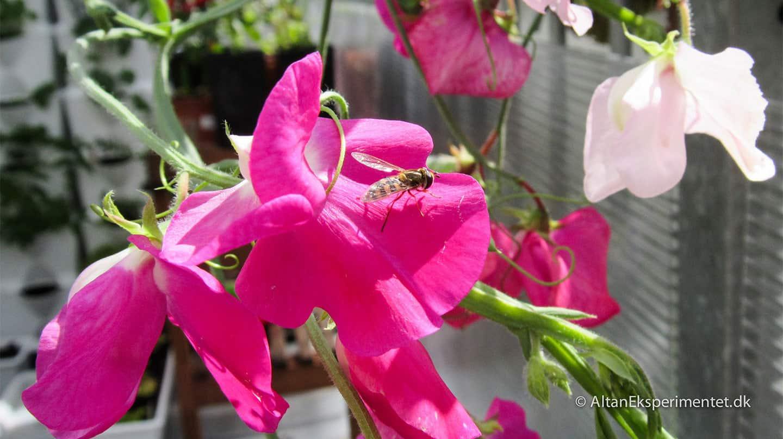 Vi er vilde med pink lathyrus i altankasserne - Det gælder vist også for denne lille svirreflue