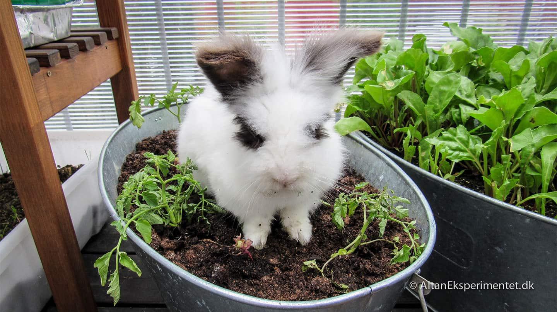 Hov! Hvor er salaten Maddie? #denlillegrønthøster #selvforsyningforkaniner
