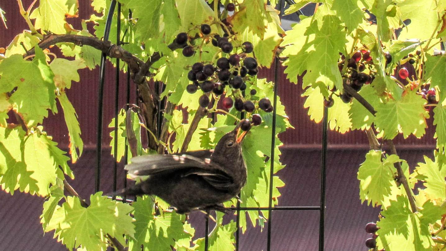 Solsort spiser vindruer