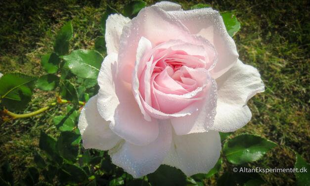 Historiske roser – Souvenir de la Malmaison