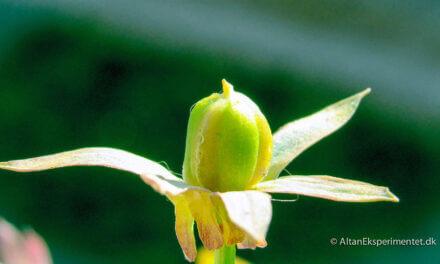 Frøformering af stedmoderblomster og hornvioler